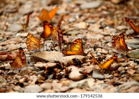 Many butterfly on ground in nature,Thailand
