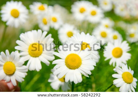 Many chamomile flowers on wide field under midday sun - stock photo