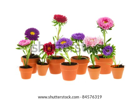 Many colorful double Asters in flower pots