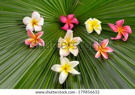 Many colorful frangipani on palm leaf - stock photo