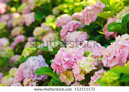 Many colorful hydrangea flowers growing in the garden, floral background - stock photo