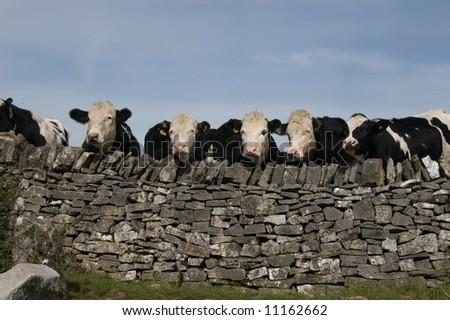 Many Cows and Wall - stock photo