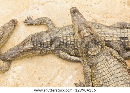 many crocodiles lie on a stone