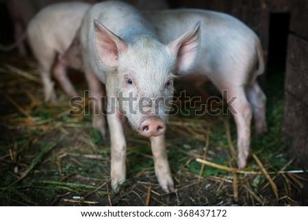 Many cute pigs on a pigfarm - stock photo