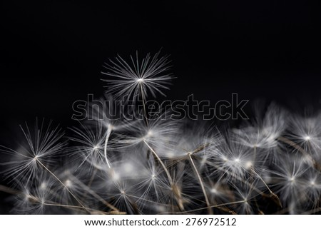 Many dandelion seeds, closeup flower feather. Dandelion seeds. - stock photo