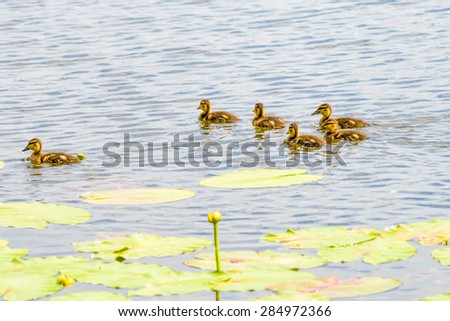Many ducklings are swimming on the river close to the yellow waterlilies - stock photo