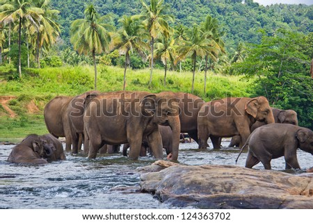 Many elephants in the water - stock photo