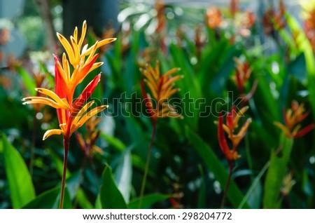 Many flowering bird of paradise flower in the daytime - stock photo