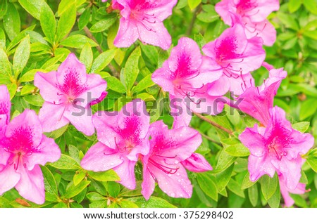 Many flowers of Rhododendron Azalea after rain. - stock photo