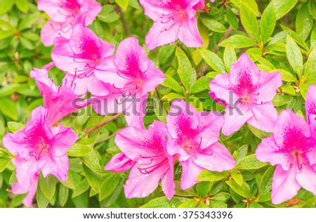 Many flowers of Rhododendron (Azalea) after rain. - stock photo