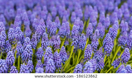 Many Grape Hyacinth or Muscari botryoides bulbs blooming blue and purple in the early spring season. - stock photo