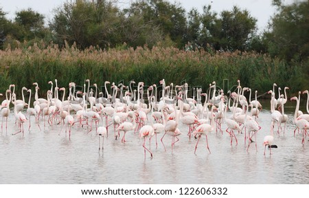 Many Greater Flamingos, Camargue National Park, France - stock photo