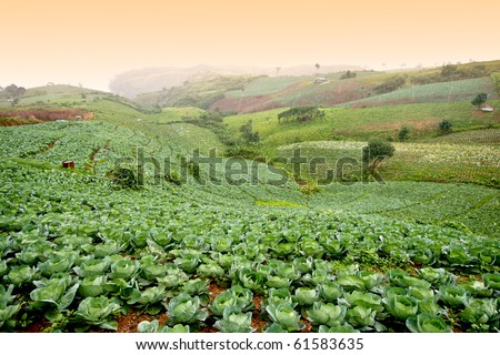 Many green cabbages in the agriculture fields - stock photo