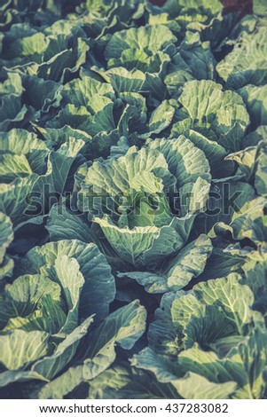Many green cabbages in the agriculture fields (Vintage filter effect used) - stock photo