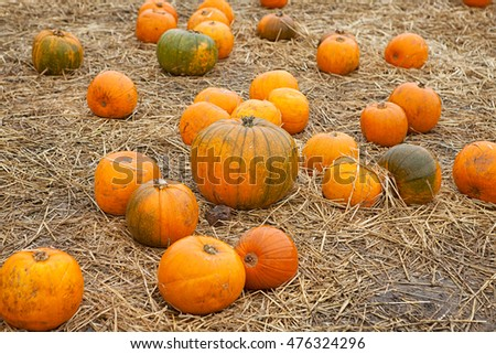 Many halloween pumpkins in some straw at the pumpkin patch