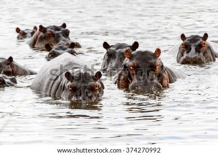 Many Hippopotamus, in the Moremi Game Reserve (Okavango River Delta), National Park, Botswana - stock photo
