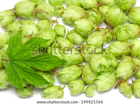 Many hops cones as background