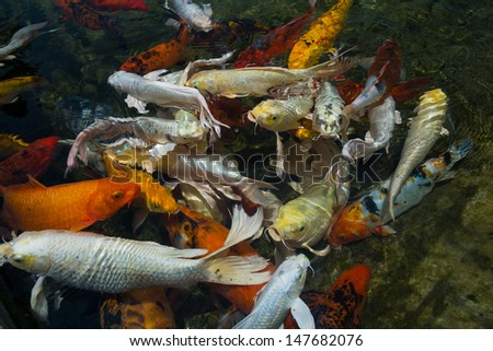 many koi fish in water