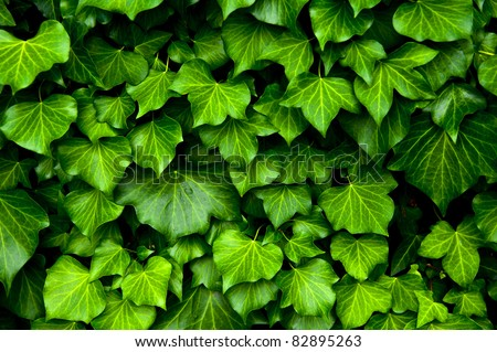 Many leafs of ivy cover a wall - stock photo