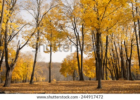 Many mature Norway Maples  with fall foliage. - stock photo