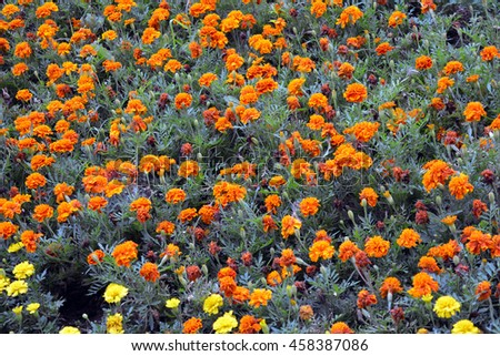Many orange flowers in the garden.