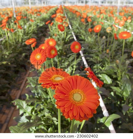 many orange gerbera flowers in greenhouse in holland - stock photo