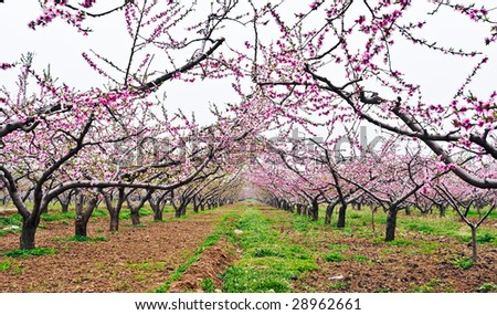 many peach blossom in orchard - stock photo