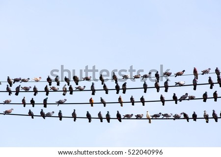 Many Pigeons in row, Pigeons perched on power lines.