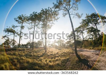 Many pine with sunset at Phu Kradung national park - stock photo