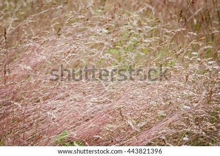 many pink grass flattened by the wind on a rustic forest meadow - stock photo