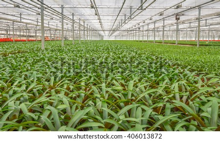 Many potted plants in a large Dutch glasshouse horticulture company that specializes in houseplants. - stock photo