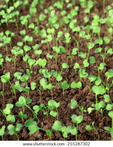 Many radishes plants are growing in the soil  - stock photo