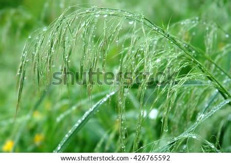Many raindrops on stalks of fresh grass                                - stock photo