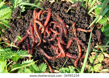 many red worms in dirt - bait for fishing - stock photo