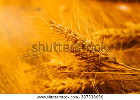 many ripe ears of wheat on  wooden background