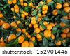 Many ripe mandarines growing on the bush - stock photo
