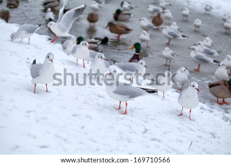 many seagulls on snow by frozen lake in winter - stock photo