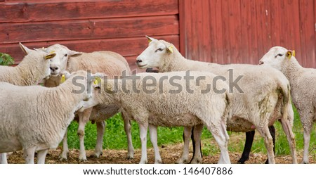 Many sheeps standing on a farm in Dalarna, Sweden - stock photo
