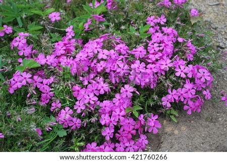 Many small purple flowers
