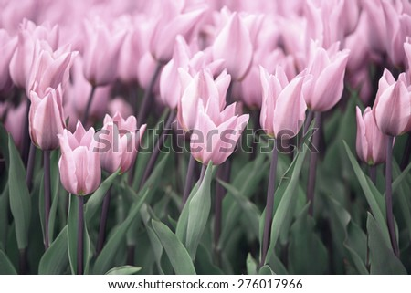 Many soft violet colored tulip flowers background. Beautiful violet tulips flower field details. Selective focus used. - stock photo