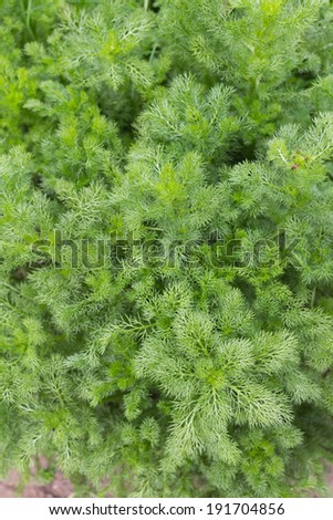Many thin branches of growing chamomile ( Matricaria chamomilla) plant - stock photo