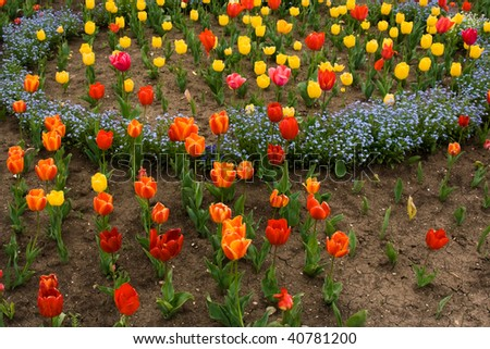 Many tulips in the garden - Balcic Bulgaria - stock photo