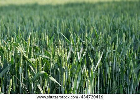 many Wheat in a field / Wheat field - stock photo