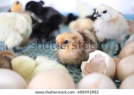 White black chicks #4