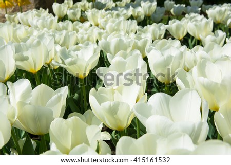 Many white tulips in a garden - stock photo