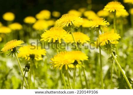 Many wild flowers yellow dandelions on meadow. - stock photo