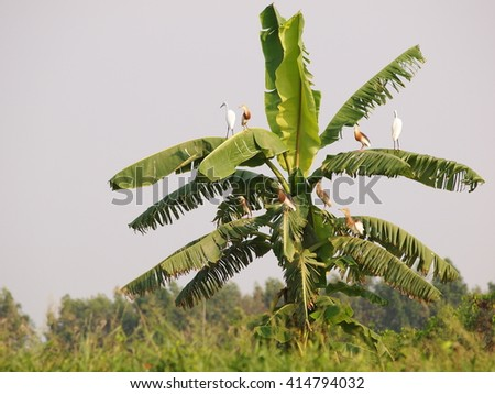 many wild white large birds look like ciconiiformes bird or stork standing resting on a banana tree in green environment under warm summer sunlight in THAILAND - stock photo