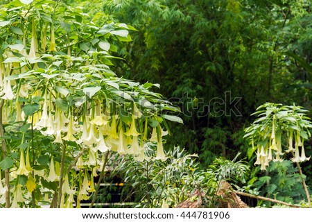 Many yellow brugmansia named angels trumpet or Datura flower blossom in summer time
