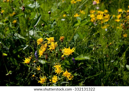 Many yellow wildflowers in green field in sunny day
