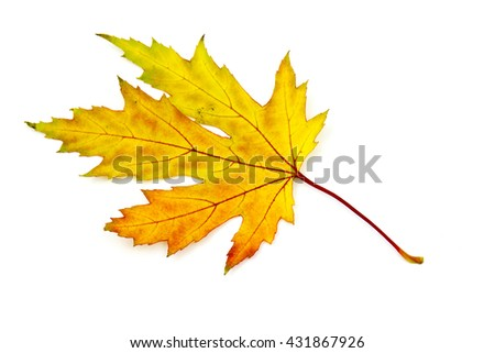maple autumn leaf on white background
